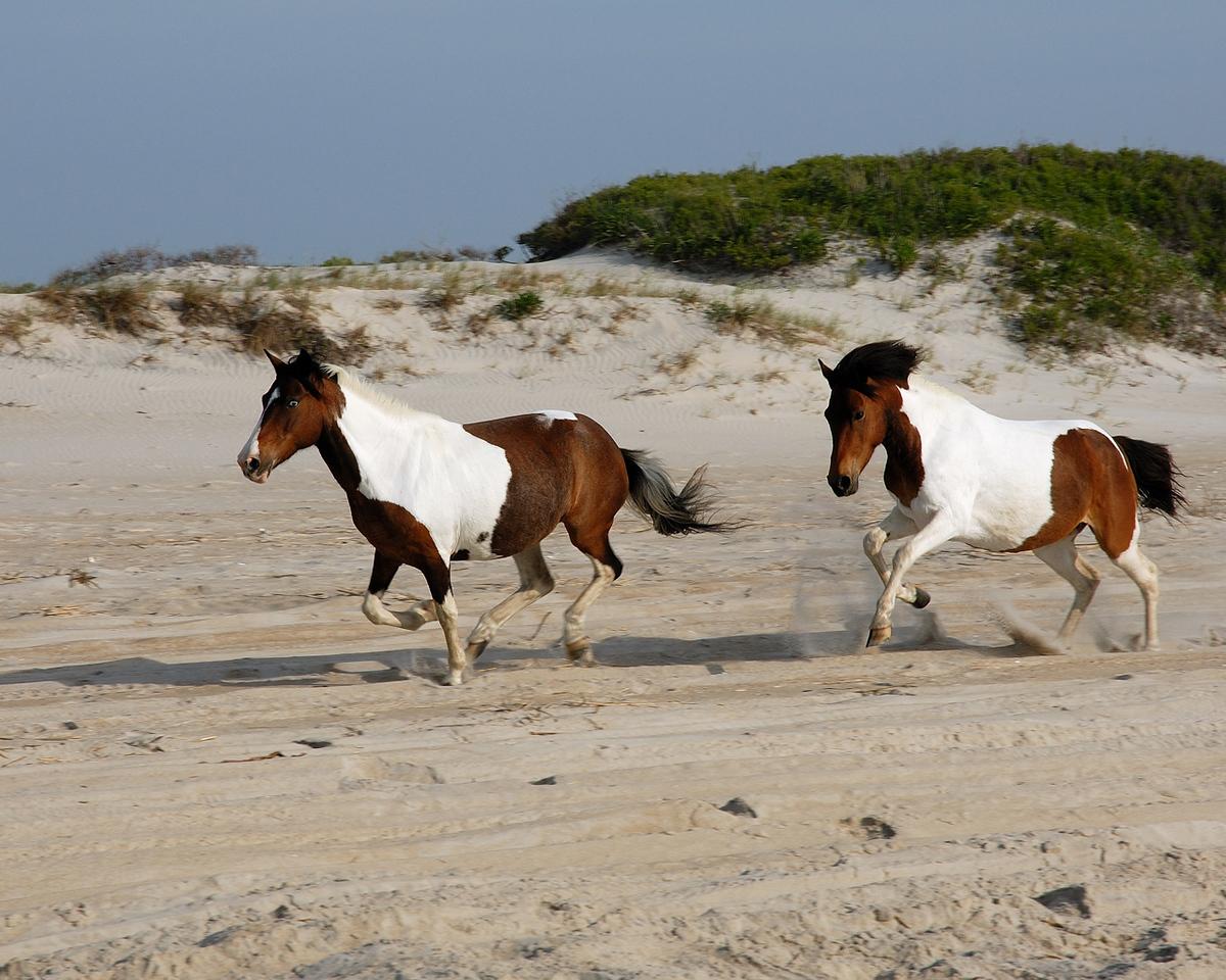 Wild Assateague horses.