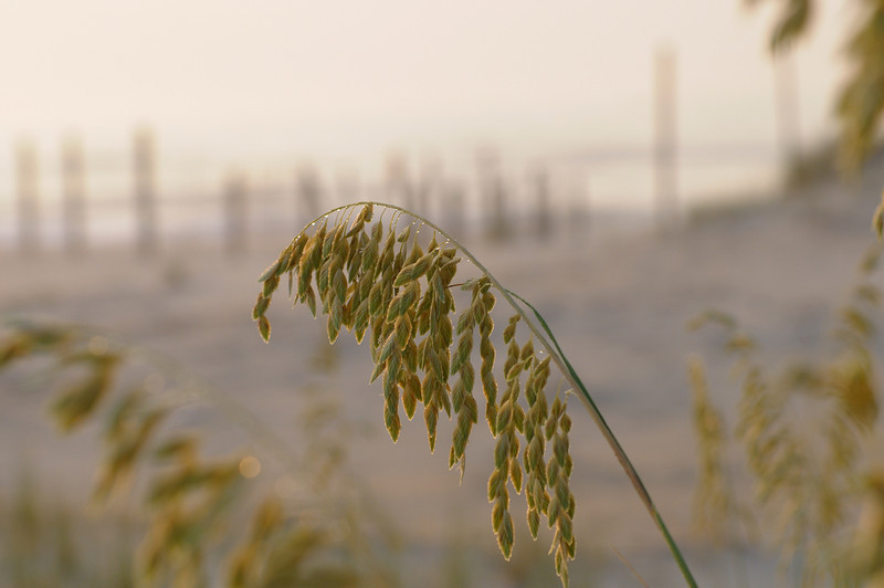 Sea Oats soaking up the morning fog........sea oats are a protected species but not indangered, there are a few plants on the Maryland side of Assateague but quite a few more on the Virginia side.