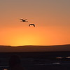 Andean flamingo flying in sunset
