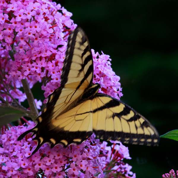 buddleia and swallowtail