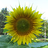 Sunflower<br /> <br /> Photographer's Name: Brian Fox<br /> Photographer's City and State: Anderson, IN
