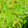 Rhynchospora macrostachya - Beakrush