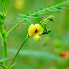 Aeschynomene virginica - Sensitive Joint Vetch (Federally Endangered)