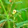 Aeschynomene virginica - Sensitive Joint Vetch (Federally Endangered)
