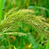 Echinochloa walteri - Walter's Millet