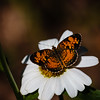 Silvery Checkerspot Butterfly - (Chlosyne nycteis)