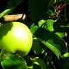 Roadside apple tree, Powerhouse Road, Spanish Fork, UT