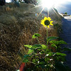 Sunflower meets its namesake. Taken on a morning run on a rural road in Spanish Fork, Utah.