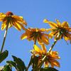 Blackeyed Susans, Jill's front yard, looking up from the basement window well.