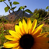 Sunflower near Spanish Fork Canyon