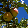 Apples growning wild on a country road, Spanish Fork, UT