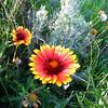 Wild flowers on Powerhouse Road, Spanish Fork, UT