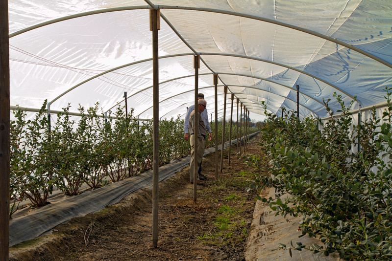 Chip and Hardy. Experimental hoop houses for blueberries (Spring High).