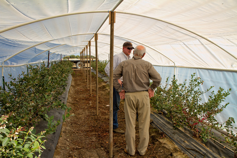 Chip and Hardy. Experimental hoop houses for blueberries (Snow Chaser).