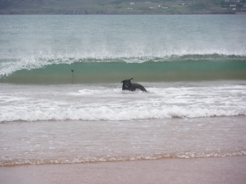 Kya absolutely loving the sea and chasing her toy which has just been swamped by the incoming wave!