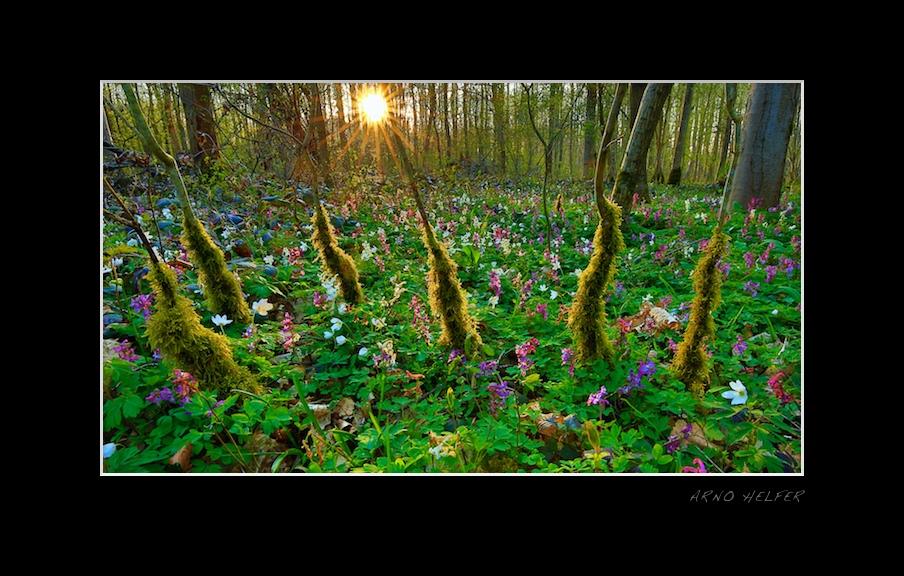 Zauberwald mit Lerchensporn (Corydalis) - Rheinauen