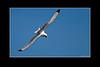 Sturzflug - Dreizehenmöwe (Rissa tridactyla), - Bulbjerg, Dänemark /<br /> Black-legged Kittiwake, in Flight - Bulbjerg, Danmark