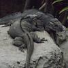 Lizards sunbathing