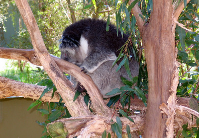 Koala Bear in Healesville Sanctuary
