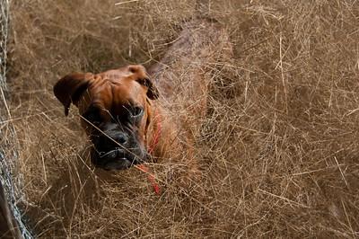 Teva, buried in tumbleweed, is keen to 'help'...