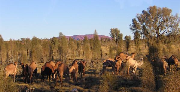Wild Camels in Desert Near Uluru