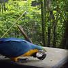 Australian Macaw