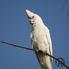 Corella, Little - P1120863