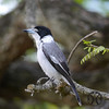 Butcherbird, Grey - P1000910