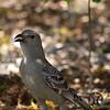 Bowerbird, Great (1)