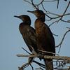 Cormorant, Little Black - P1130162