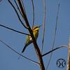 Bee-eater, Australian - P1150775