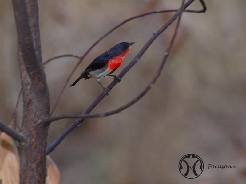 Misteltoe Bird