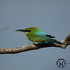 Bee-eater, Australian - P1120549