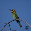 Bee-eater, Australian - P1110512