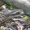 Stone-curlew, Bush (2)