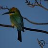 Bee-eater, Australian - P1110883