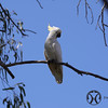 Cockatoo, Sulphur-crested  (1)