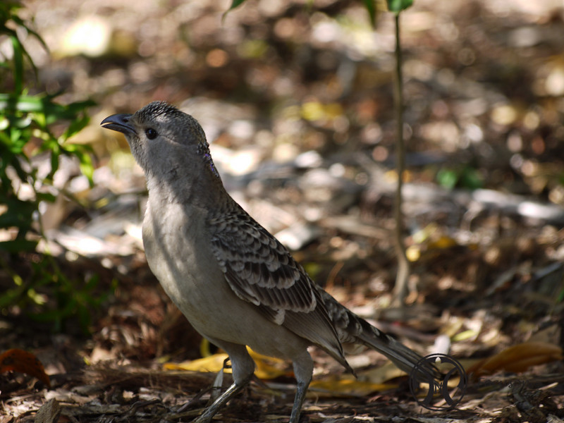 Bowerbird, Great
