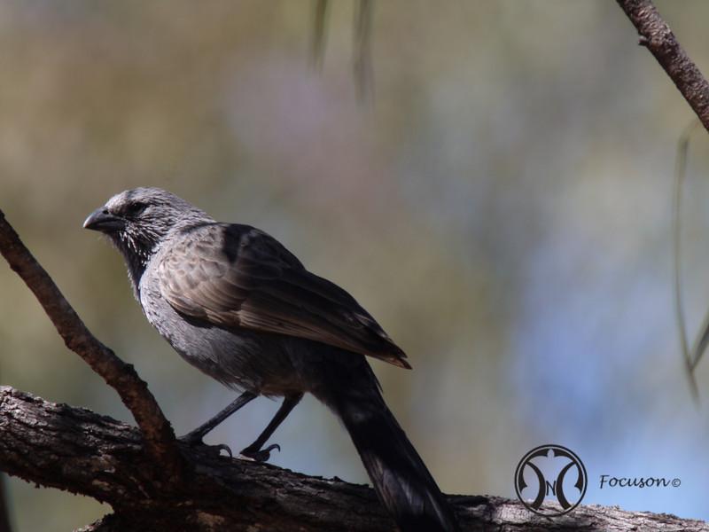 Apostle Bird.