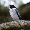 Butcherbird, Grey - P1000913