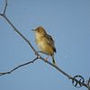 Cisticola, Golden-headed - P1120791