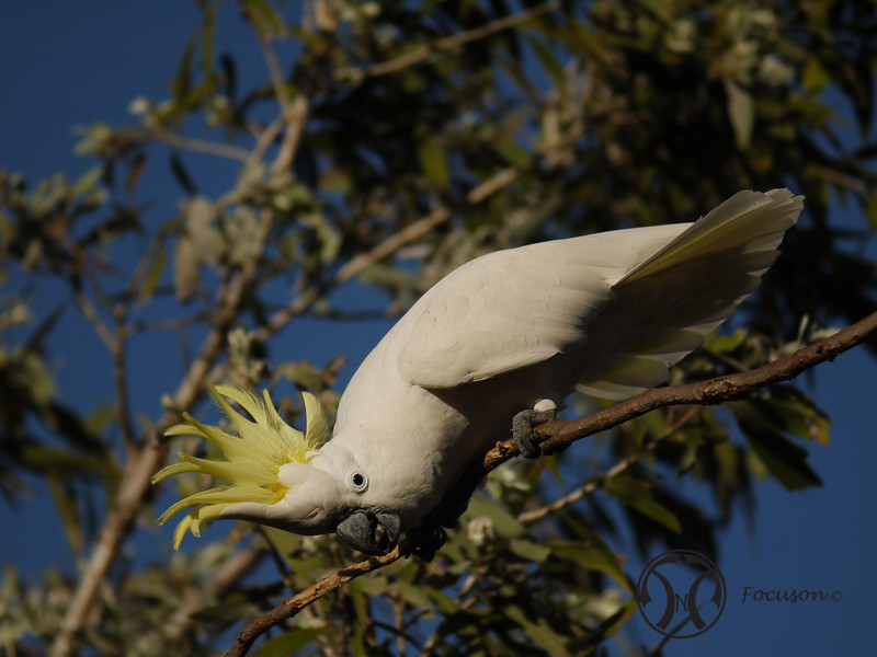 Cockatoo, Sulphur-crested - P1230997