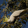 Cockatoo, Sulphur-crested - P1230997