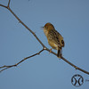 Cisticola, Golden-headed - P1120785