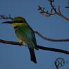 Bee-eater, Australian - P1110884