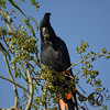 Cockatoo, Red-tailed Black - P1130836