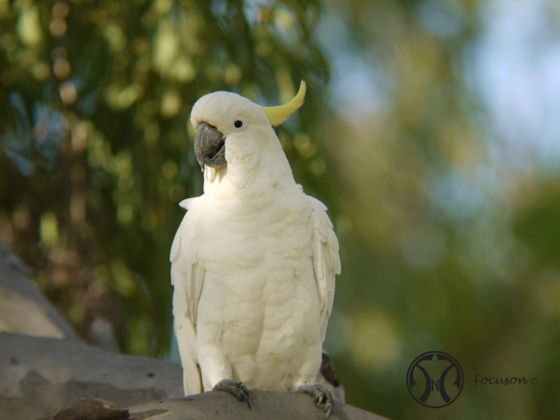Cockatoo, Sulphur-crested - P1120852