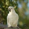 Cockatoo, Sulphur-crested - P1120852