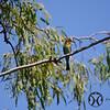 Bee-eater, Australian - P1030106