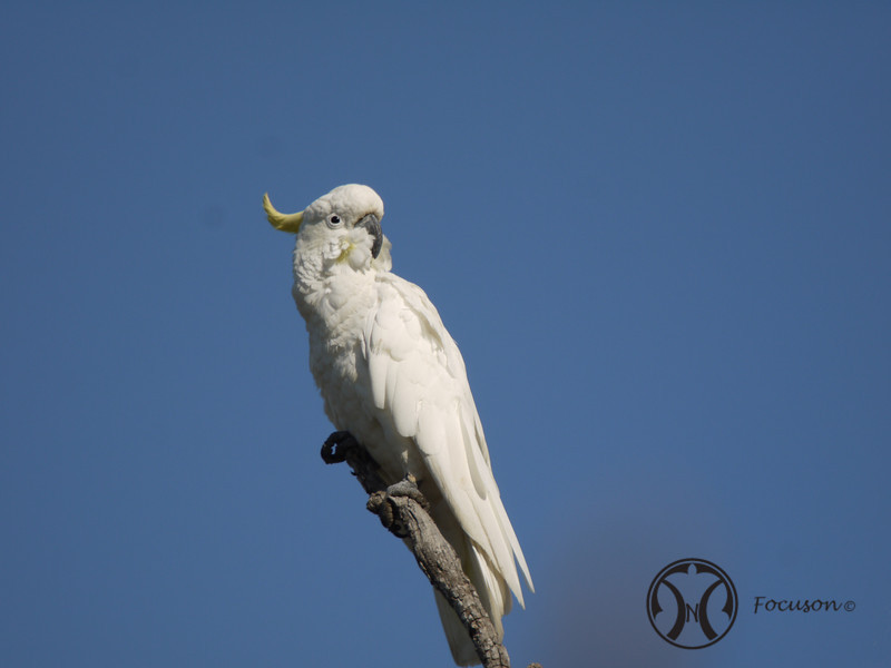 Cockatoo, Sulphur-crested - P1120577